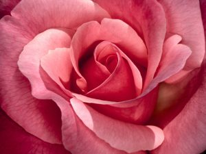 84935d1320212750-rose-rose-picture